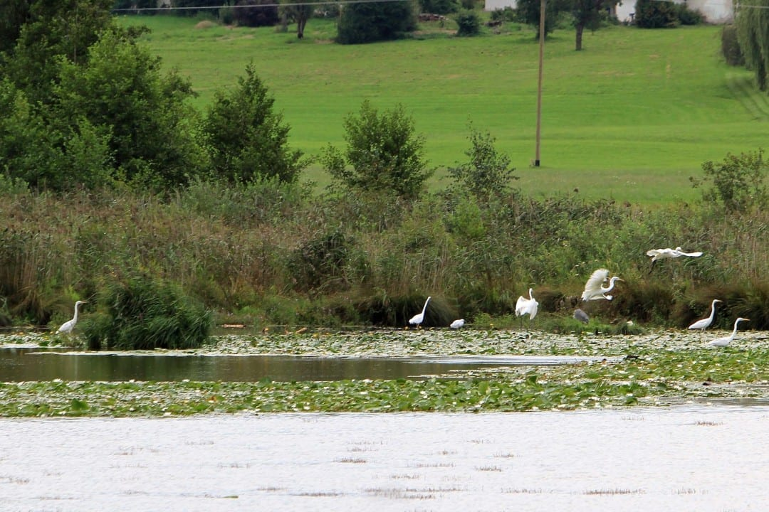 Kraniche am Egglburger See nahe München