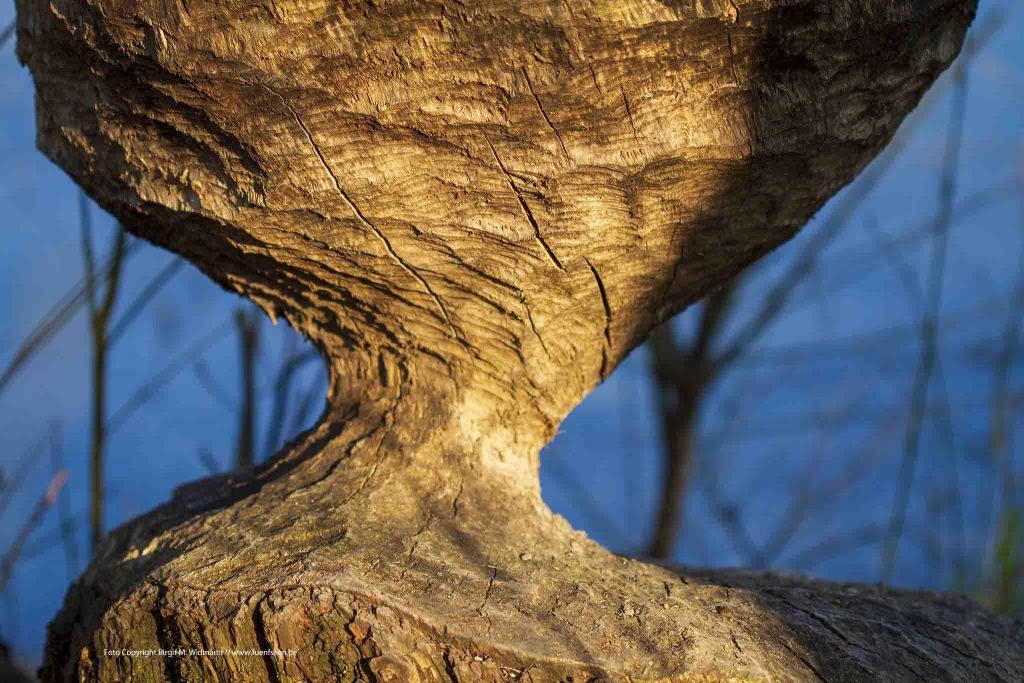 Biberbiss an einem Baum