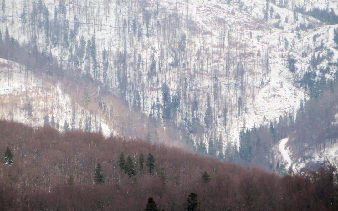 Kahlschlag der letzten Urwälder Europas