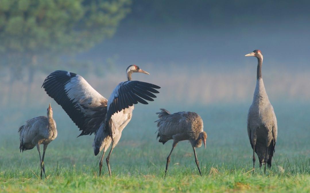 Herbstliches Spektakel: Zehntausende Kraniche sammeln sich in Mecklenburg-Vorpommern