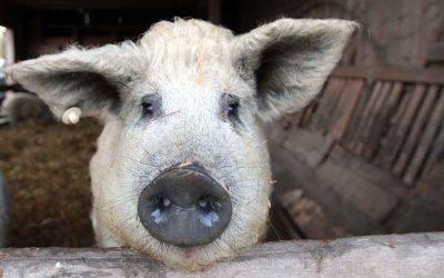 Schwein gehabt … wer bei der Eröffnung des Büffelhofs mit dabei war
