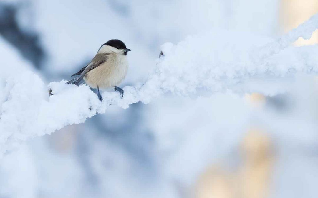 willow tit in winter on a snowy branch